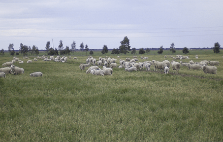 Sheep grazing on the farm at Longy