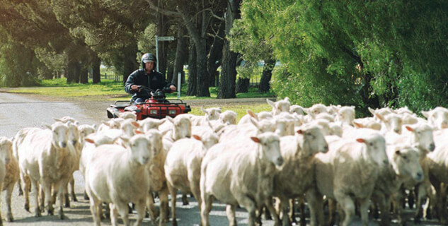 Rounding up sheep at Longy College
